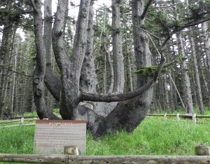 This tree is a unique Sitka Spruce that may have been formed by Indians many years ago.