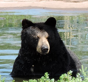 Black bears are the largest group of animals in the park.