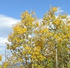 The aspens are beging to change to gold as fall weather arrives.