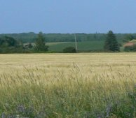 A view of one of many fields of barley around the island.