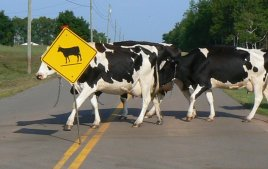 Caution! Cows crossing the highway.