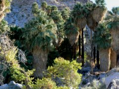 The 49 Palms oasis is a tropic located in the harsh desert.