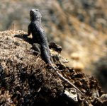 This black lizzard picture was taken not far from the campground.