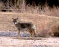 This coyote passed near our site most mornings.
