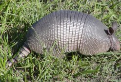 Armadillos are very common here and are frequently seen in the evenings.