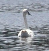 One of the resident trumpeter swans that stay all year.