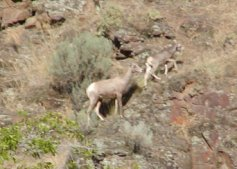 Two bighorn sheep. Click on this to see the heard.