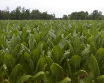 This is a view of a tobacco field, near the Ohio River.