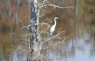 All of our nearest neighbors are birds & animals. This Great White Egret is a resident.