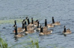 The quarry is the Canada Goose.
