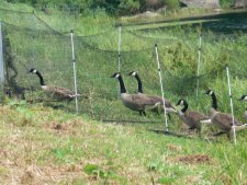 The geese follow the fencing into the trap's pen.