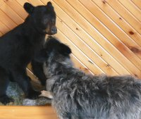 Muffy plays with the stuffed bear cub in the visitor center.