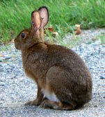 Young snowshoe rabbits were frequent visitors.
