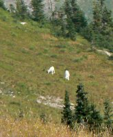 The first mountain goats we saw were very distant, but clearly visible.