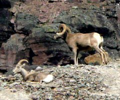 The bighorn sheep seem to know who has the right of way!