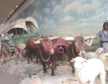 Teams of oxen pulled most of the wagons.