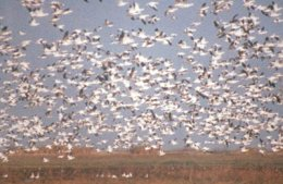 Snow geese rise from Wolfweed reservoir on San Bernard.