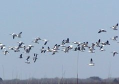 Thousands of snow geese winter here each year.