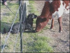 Muffie plays with her new friend,Sara, a calf from the farm.