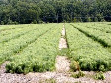 Rows of scotch pine seedlings nearing two years old.