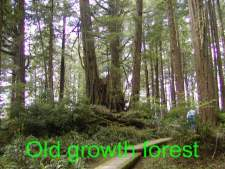 old growth forrest