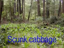scunk cabbage