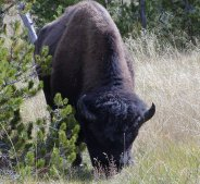 Bison bulls are seen everywhere. (click to see another bull)