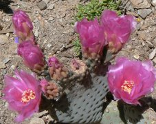 One of many pick prickly pear flowers in the gardens.