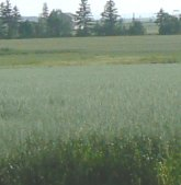 Most of the farms also have at least some oats growing.