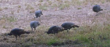 Wild turkeys feed near the motorhome.